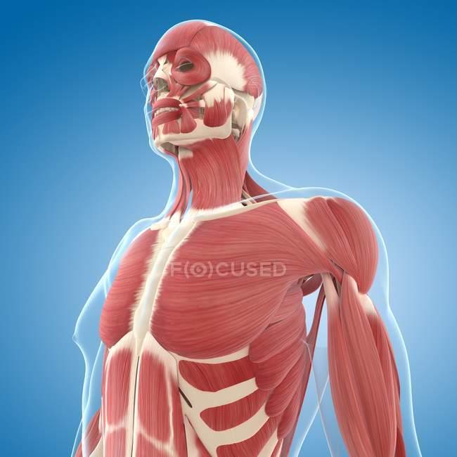 Верхній частині грудей мускулатури — стокове фото