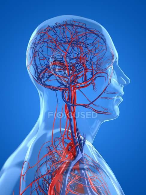 Réseau d'approvisionnement en sang de la tête humaine — Photo de stock
