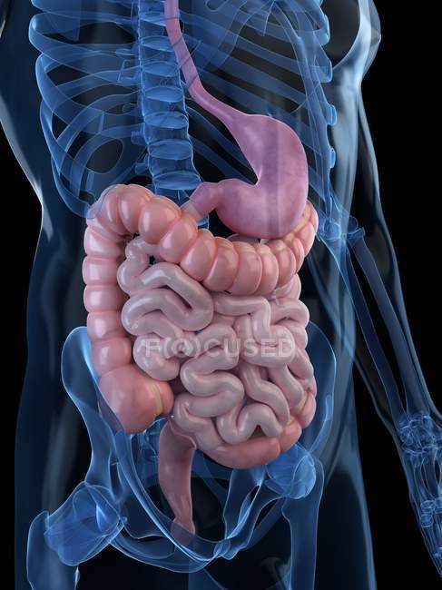 Пищеварительной системы здорового взрослого — стоковое фото