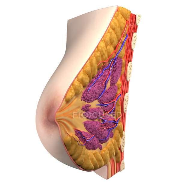 View of Breast anatomy — Stock Photo   #160166354