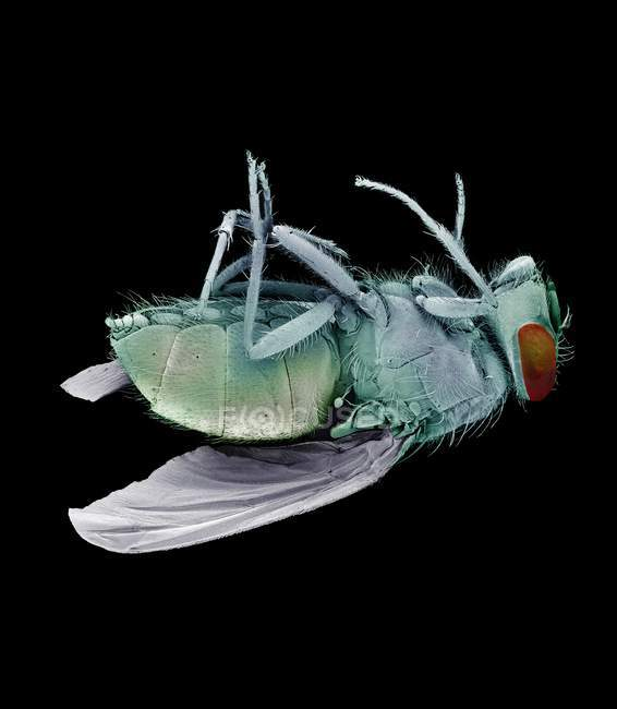 Mosca morta bluebottle — Fotografia de Stock