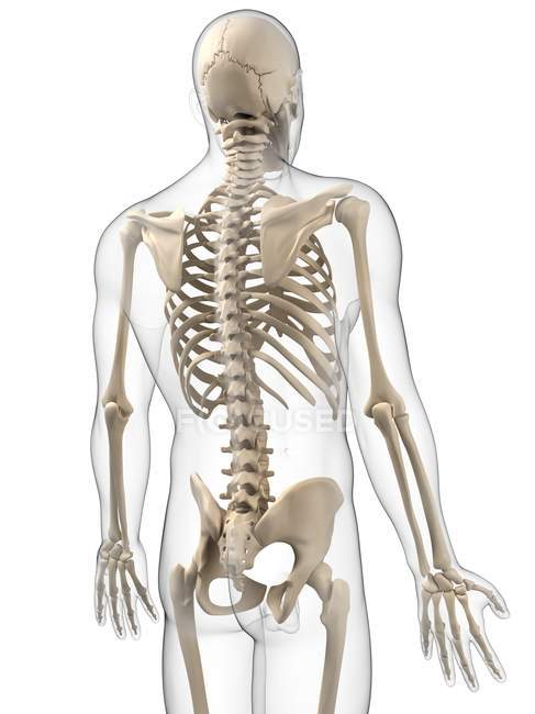 Human Skeleton With Emphasis On Thoracic Region Stock Photo