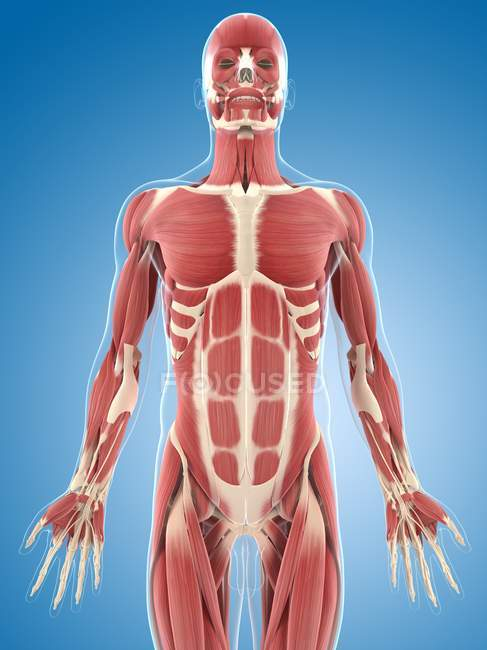 Чоловічої грудях мускулатури — стокове фото
