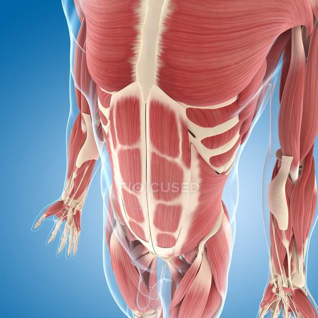 Musculatura torácica y central - foto de stock