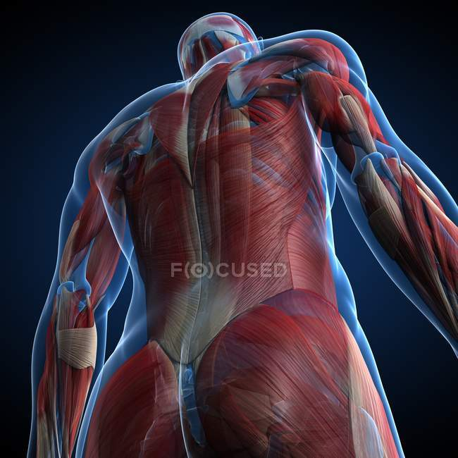 Anatomía muscular masculina - foto de stock