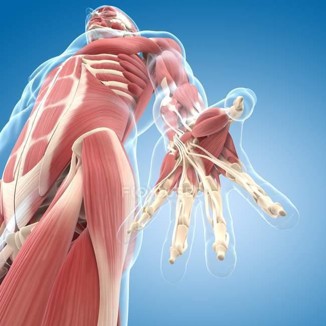 Musculatura de manos y brazos - foto de stock