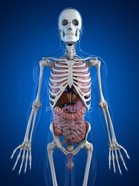 Вид от анатомии человека — стоковое фото