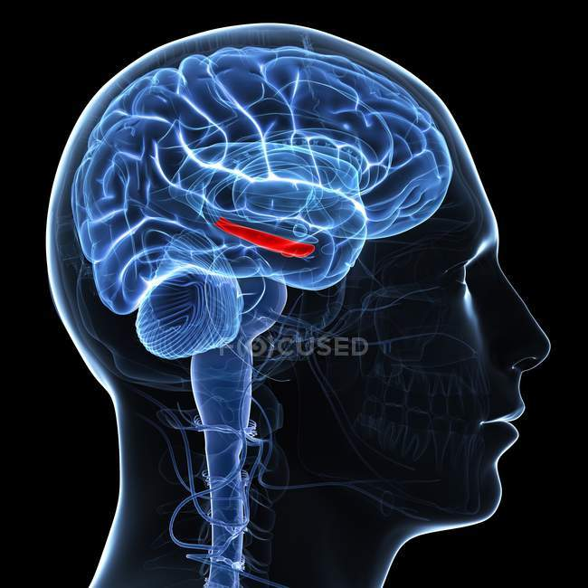 Artwork of brain showing hippocampus — Stock Photo