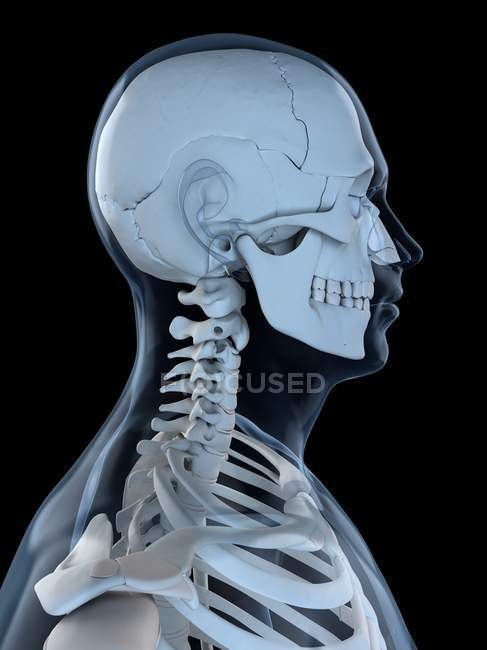 Upper Body Bones Side View Black Background Stock Photo