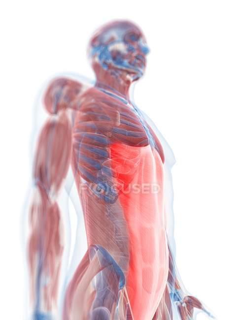 Пряму м'яз abdominis — Stock Photo