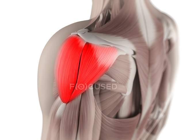 Вид дельтовидной мышцы — стоковое фото