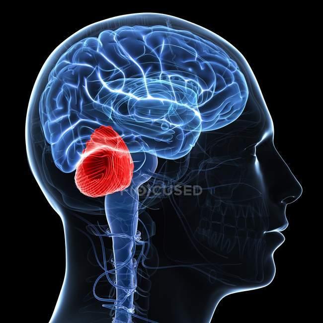 Opera d'arte del cervello che mostra cervelletto — Foto stock