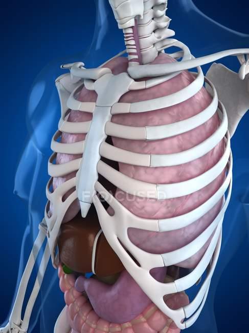Анатомия человека верхней части тела — стоковое фото