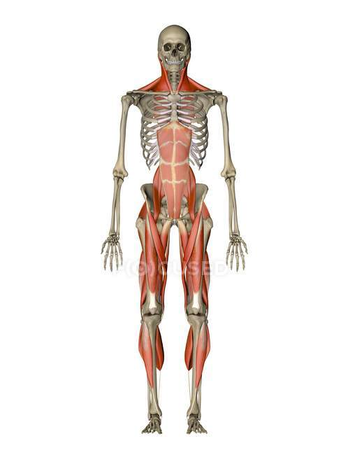 Muscles controlling human posture — Stock Photo