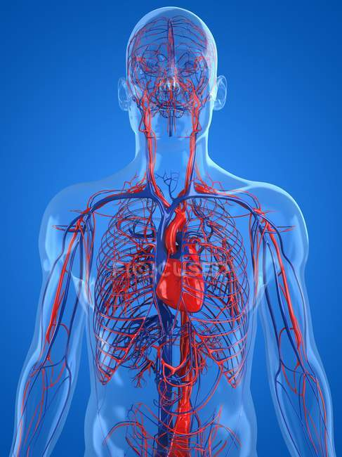 Normal cardiovascular system — Stock Photo | #160168062