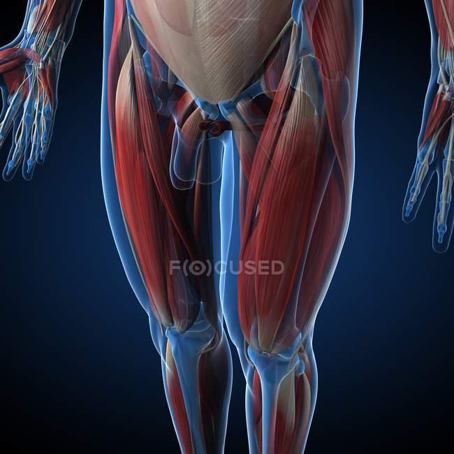 Humano, pierna, musculatura , - foto de stock