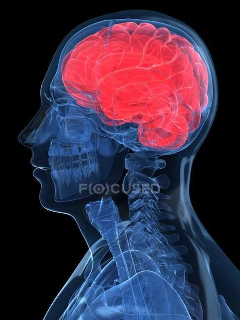 Anatomía del cerebro humano y cráneo - foto de stock
