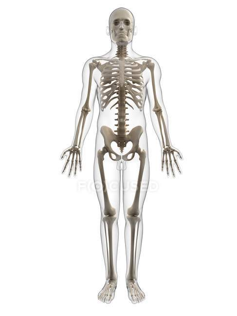 Adult male skeleton — Stock Photo | #160168280