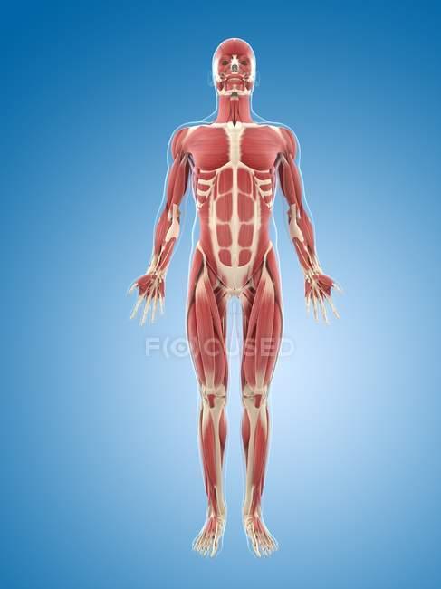 Стійка тіла мускулатури — стокове фото