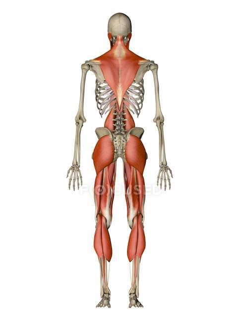 Main muscles controlling human posture — Stock Photo