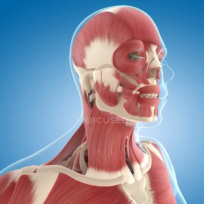 Musculatura del cuello y la cabeza - foto de stock