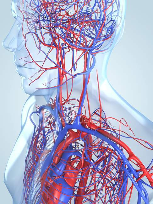 Cardiovascular system of an adult — Stock Photo