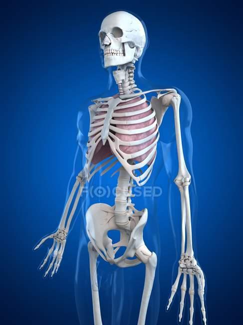 Pulmones humanos en caja torácica - foto de stock