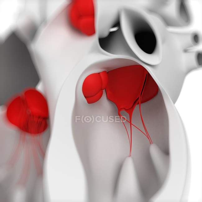 View of Mitral valve — Stock Photo