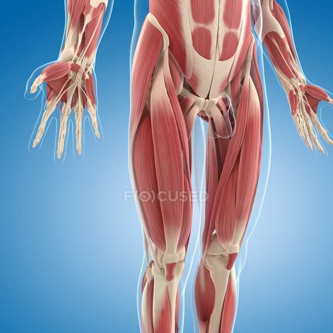 Musculatura inferior del cuerpo - foto de stock