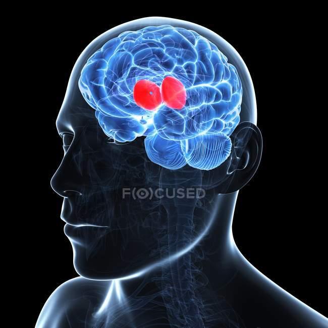 Obra de arte del cerebro que muestra el tálamo - foto de stock