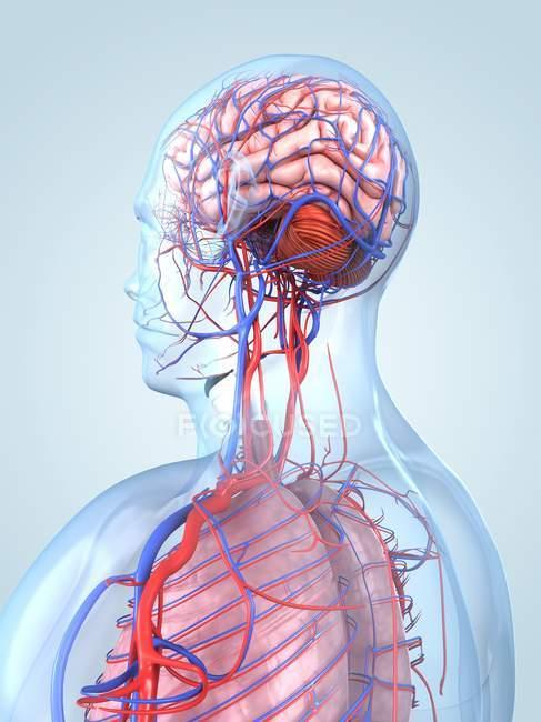 Sistema circulatorio y suministro de sangre - foto de stock