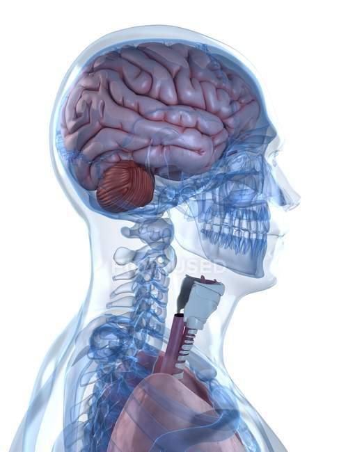 Système squelettique et structure cérébrale — Photo de stock