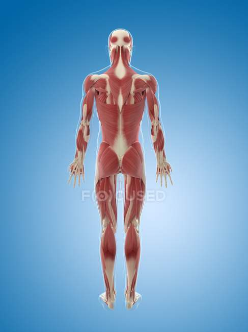 Back and rear body musculature — Stock Photo