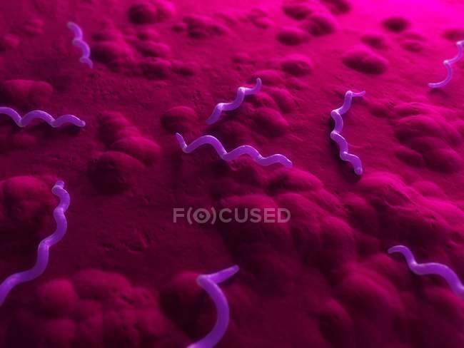 Spirillum bacteria infection — Stock Photo