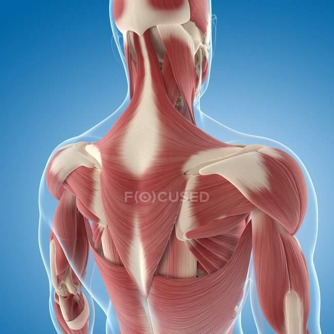 Musculatura superior de la espalda - foto de stock