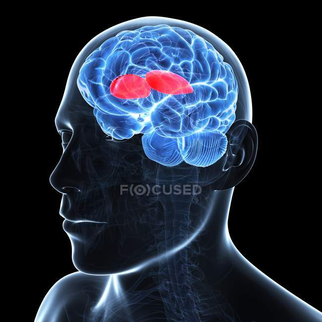 Artwork of brain showing putamen — Stock Photo