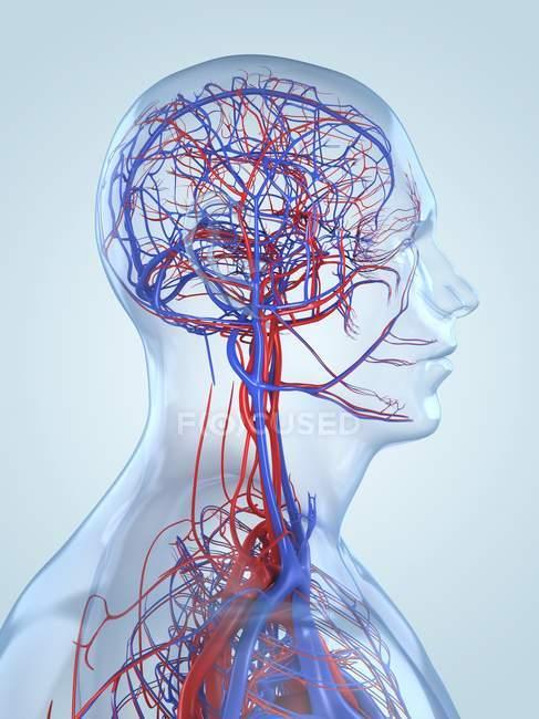Blutgefäß-Netzwerk des menschlichen Kopfes und Gehirns — Stockfoto