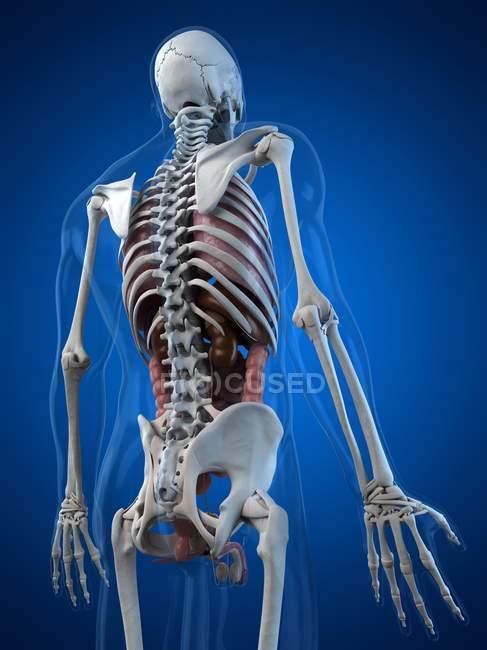 Визуального отображения анатомии человека — стоковое фото