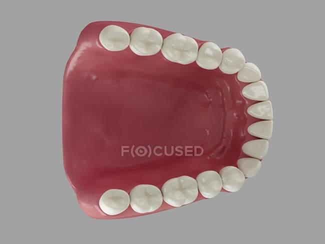 Dentes humanos saudáveis — Fotografia de Stock
