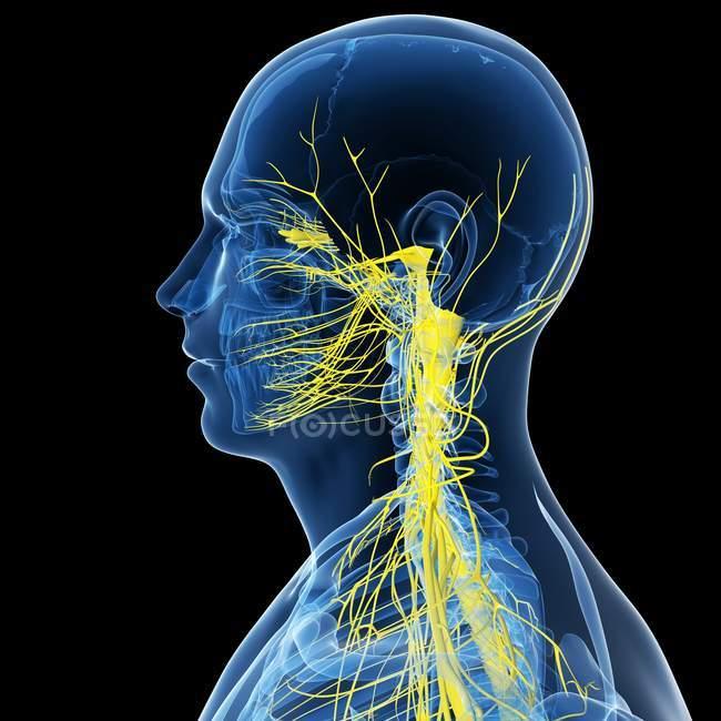 Вид сбоку спинного мозга — стоковое фото