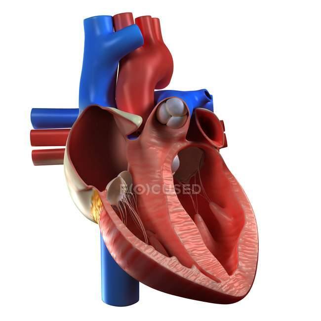 Vista de la anatomía del corazón - foto de stock
