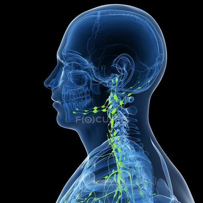 Lymphatic system with nodes — Stock Photo