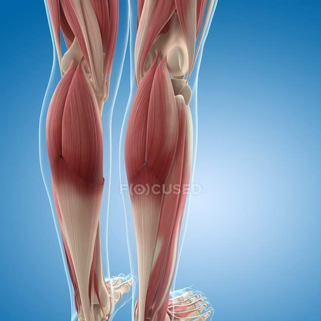 Мускулатура ног — стоковое фото