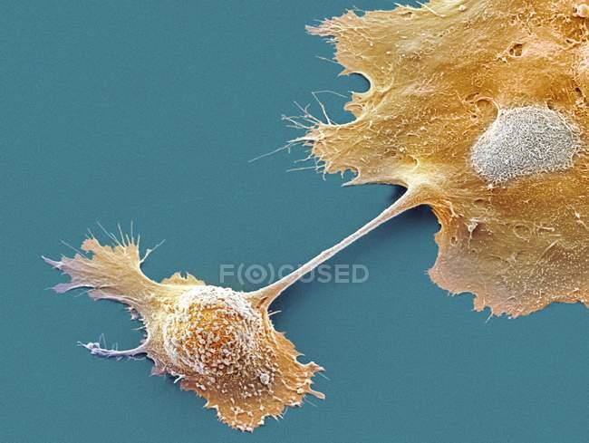 Клітин підшлункової залози — стокове фото