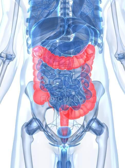 Estado saludable de los intestinos gruesos - foto de stock