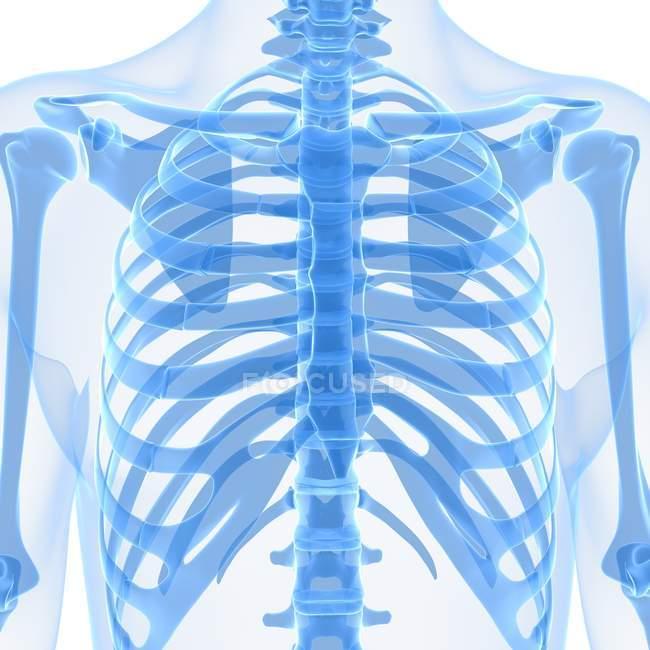 Huesos superiores del cuerpo - foto de stock