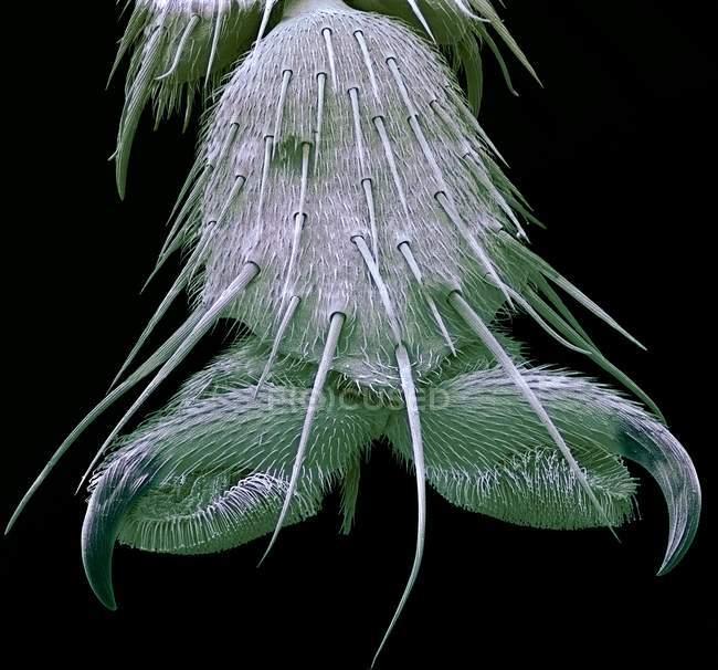 Pie de mosca Bluebottle - foto de stock