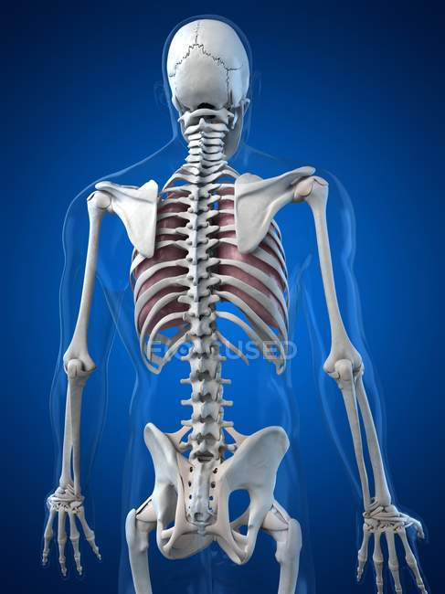 Rib Cage Stock Photos Royalty Free Images Focused