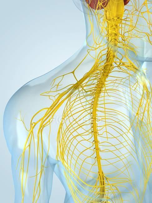 Центральная нервная система — стоковое фото