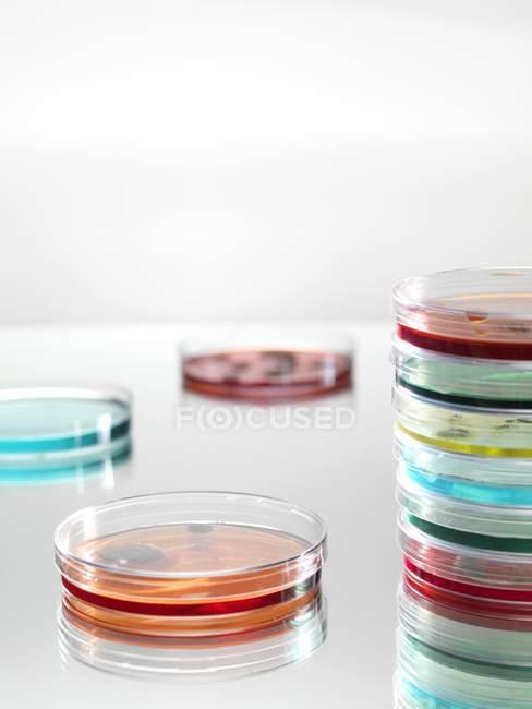 Capsule di Petri con liquidi variopinti per la ricerca di microbiologia. — Foto stock